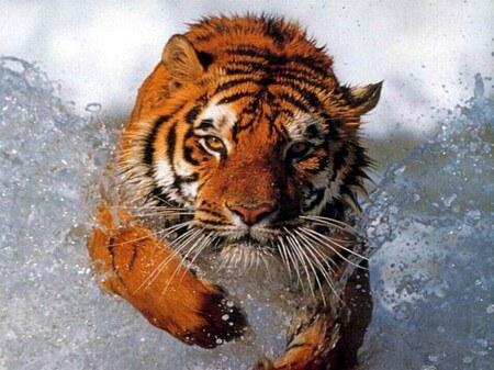 speech-anxiety-charging-tiger
